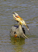 Great Blue Heron Photos - Bigger Fish To Fry by Robert Frederick