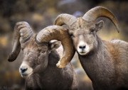Rams Framed Prints - Bighorn Brothers Framed Print by Kevin Munro