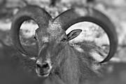 aoudad sheep photos   bighorn by douglas barnard
