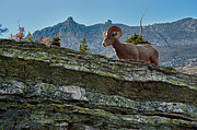 Bighorn Photos - Bighorn by Sebastian Musial