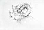 North American Wildlife Drawings Posters - Bighorn Sheep drawing Poster by Mick Gwin