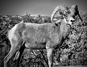 Desert Digital Art - Bighorn Sheep by Ellen Lacey
