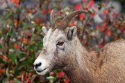 Canada Photos - Bighorn Sheep by Larry Ricker