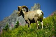 Bighorn Prints - Bighorn Sheep Print by Marc Bittan