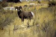Bighorn Framed Prints - Bighorn Sheep (ovis Canadensis) Framed Print by Altrendo Nature