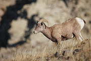 Horned Animals Framed Prints - Bighorn Sheep Framed Print by Paul E Tessier