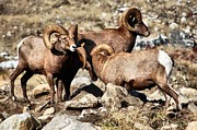 Wildlife Art - Bighorn Sheep Showing off by Don Mann