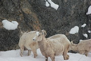 David Wilkinson - Bighorns in Blizzard