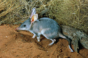Ai Prints - Bilby Macrotis Lagotis, Simpson Desert Print by Glen Threlfo
