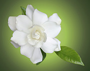 Gardenia Photos - Billies Flower by Kristin Elmquist