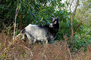 Billy Photos - Billy Goat by Aidan Moran