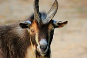 Farmlife Photos - Billy Goat by Geary Barr