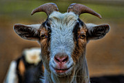 Livestock Art - Billy Goat by Paul Ward