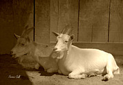 Farmyard Animals Posters - Billy Goat Siesta in sepia Poster by Suzanne Gaff