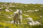 Mount Evans Framed Prints - Billy Framed Print by Scott Pellegrin