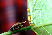 Soybean Prints - Biocontrol Of Bean Beetle Print by Science Source