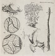 Publication Prints - Biological Illustrations, 18th Century Print by Middle Temple Library
