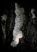 Abstracted Photos - Birch Abstraction by Odd Jeppesen