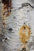 Birch Bark Tree Prints - Birch Bark 2 Print by Robert Ullmann