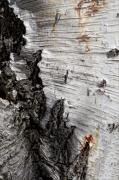 Bark Design Photos - Birch Bark by Robert Ullmann
