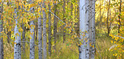 Birch Forest Print by Bonnie Bruno