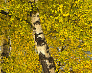 Yellow Leaves Framed Prints - Birch Forest in Finland Framed Print by Heiko Koehrer-Wagner