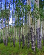 Rocky Mountain National Park Prints - Birch Forest Print by Julie Lueders