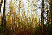 Forest Prints - Birch forest Print by Scott Hovind