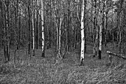 Tom Mccarthy Prints - Birch Forest Print by Tom McCarthy