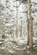 Landscape Greeting Cards Prints - Birch Path Woodland Print by Andrea Hazel Ihlefeld