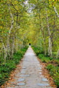 Birch River Prints - Birch Pathway Perspective Print by Kristin Elmquist