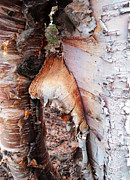Birch Bark Tree Prints - Birch Print by Ron Day