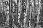 Black And White Framed Prints - Birch Stand Framed Print by Ron Kochanowski - www.kochanowski.us