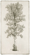 Printmaking Prints - Birch Tree Print by Charles Harden