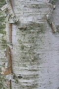Birch Tree Print by Kathleen Peltomaa Lewis