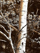Signed Photos - Birch Tree by Katina Cote