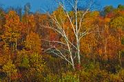 Without People Photos - Birch Tree Surrounded By Colorful by Mike Grandmailson