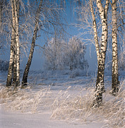 Elena Filatova - Birch trees. Frost