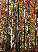 Trees Prints - Birch Trees in Autumn Print by Juergen Roth