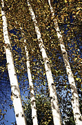 Leaves Art - Birch trees in fall by Elena Elisseeva