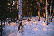 Snow Scenes Metal Prints - Birch Trees In The Snow Metal Print by Joel Sartore