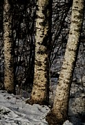 Trio Framed Prints - Birch Trees In The Snow Framed Print by Odd Jeppesen