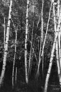 Autumn Prints Posters - Birch Trees Poster by Phill  Doherty