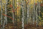 Woodland Scenes Posters - Birch Trees With Autumn Foliage Poster by Medford Taylor