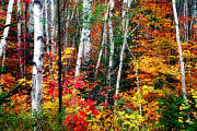 Colorful Bark Prints - Birch Trees with Colorful Fall Foliage Print by George Oze