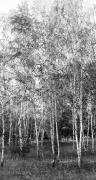 Birchtrees Photos - Birch Trees1 by Svetlana Sewell