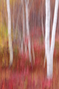 New England Fall Foliage Art - Birch Trunks-Abstract by Thomas Schoeller
