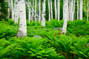 Wild And Scenic Prints - Birches and Ferns Print by Susan Cole Kelly