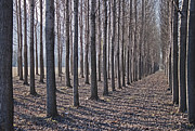 Perspective Art - Birches In The Winter by Joana Kruse
