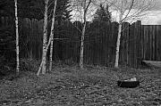 Robert Bissett - Birches
